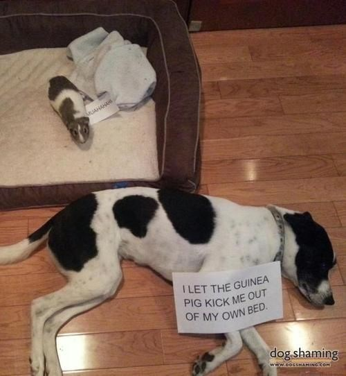 Dog - MUAHAHA TLET THE GUINEA PIG KICK ME OUT OF MY OWN BED dog shaming www.boGsHAMING COH
