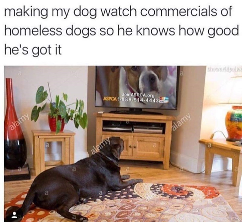 Meme of someone making his dog watch videos of homeless dogs so he knows how good he has it.
