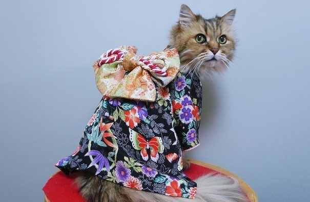 Cat wearing very funny Japanese outfit.