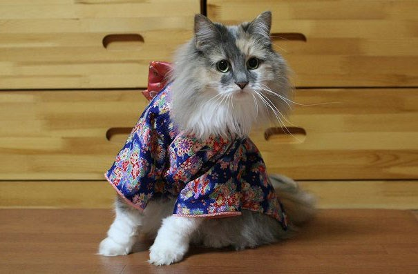 Watchu talking about cat dressed in Japanese kimono outfit.
