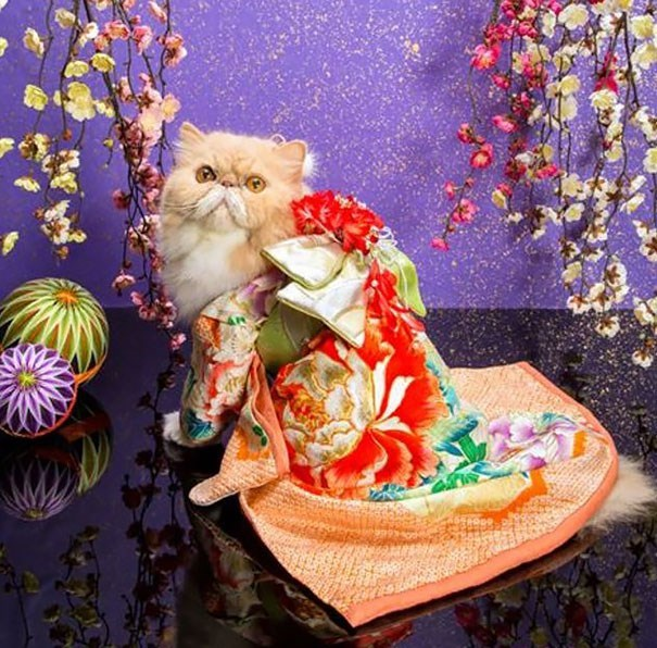 Elaborately dressed cat in Japanese outfits.