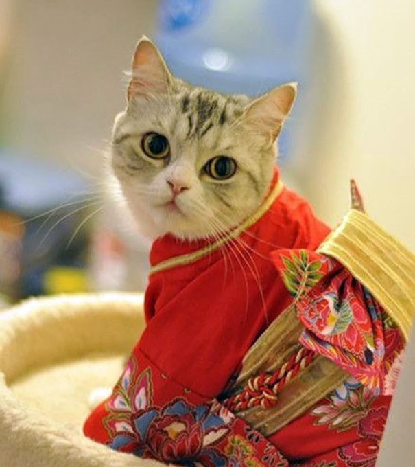 Beautiful white cat wrapped in red and gold Japanese kimono