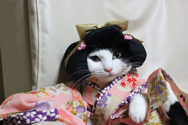 Japanese Geisha cat