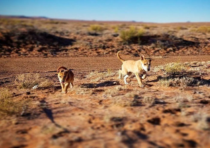 Dogs roaming in the desert.