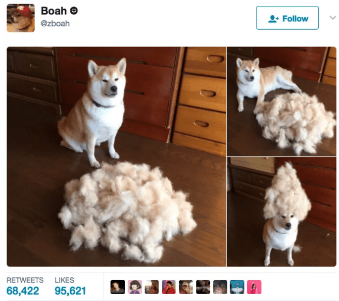 Tweet of messing around with a husky and a bunch of fur.
