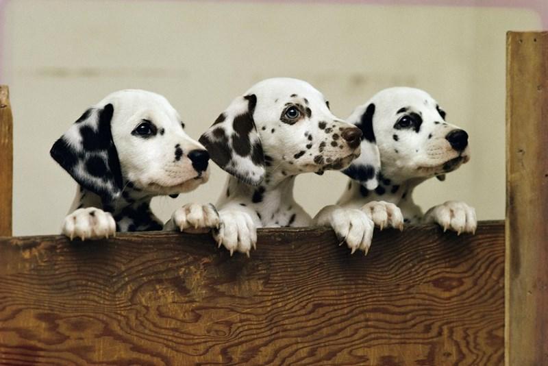 Very cute dalmatian puppies