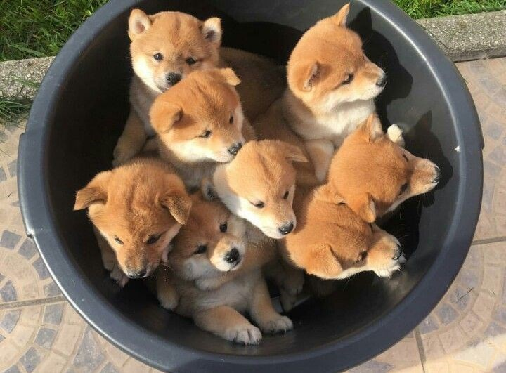 Bucket full of very cute husky puppies