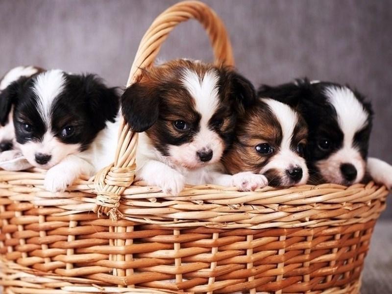 Basket full of very cute puppies.
