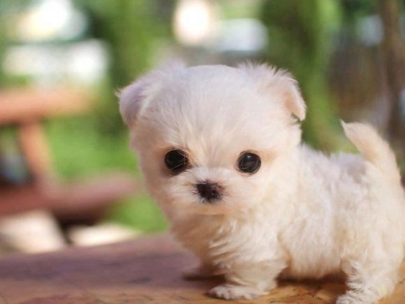 Super cute tiny puppy