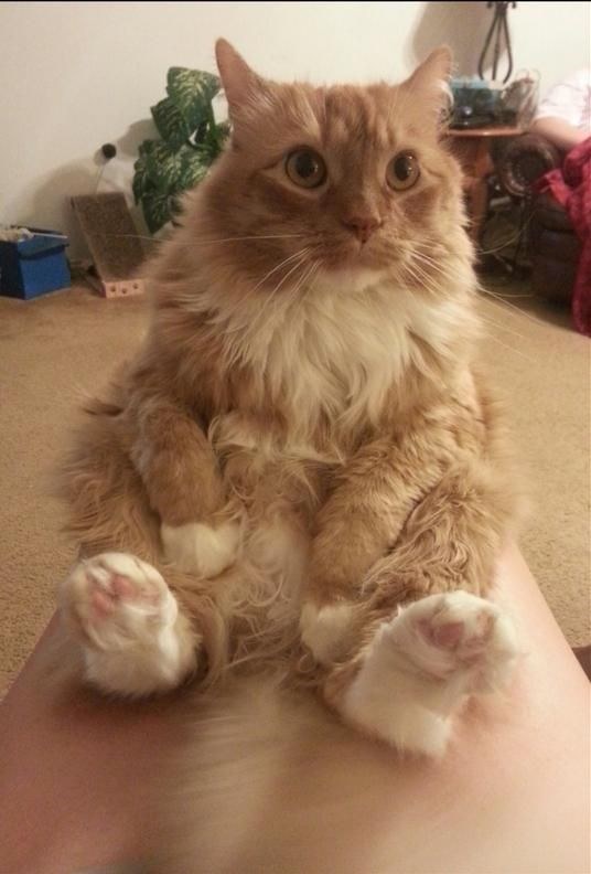 Cat sitting like a person because he wants to be human too