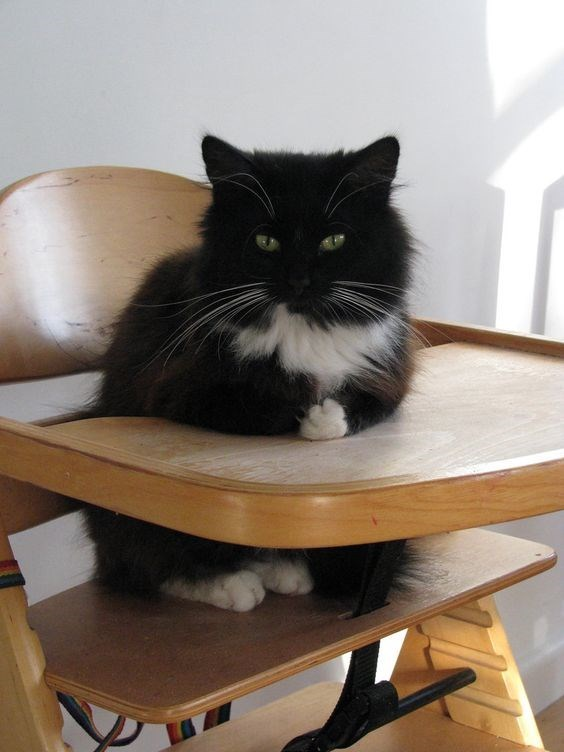 Cat at a high-chair, waiting for his food.