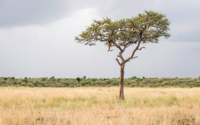 a picture of the safari and there is a leopard that is very hard to see climbing up the tree