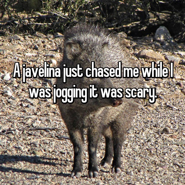 Peccary - Ajavelina just chased me whiel was jogging it was scary