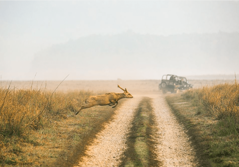 National Geographic photo of deer sprinting across the road after a jeep has passed