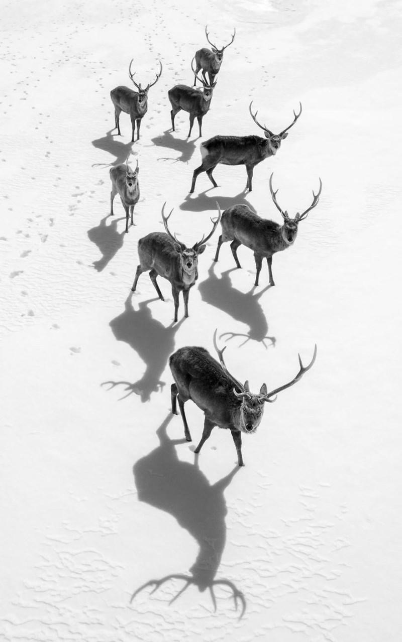 Black and white photo of elk curious at the camera