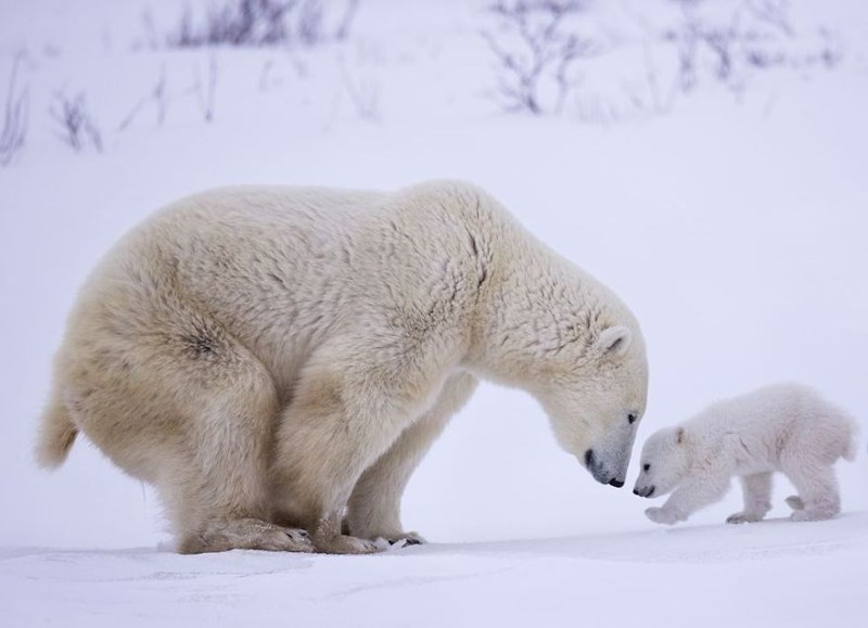Mother and cub polar bears with their noses almost touching.