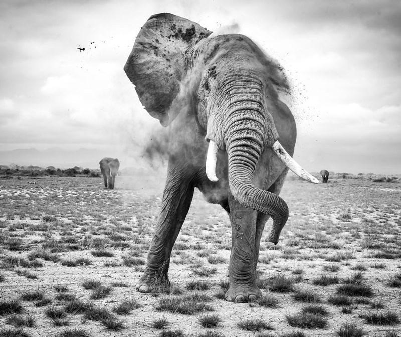 Portrait of a massive elephant.