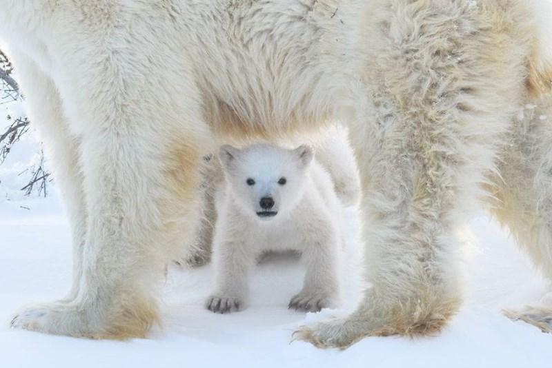 baby polar bear cub under momma bear's feet.
