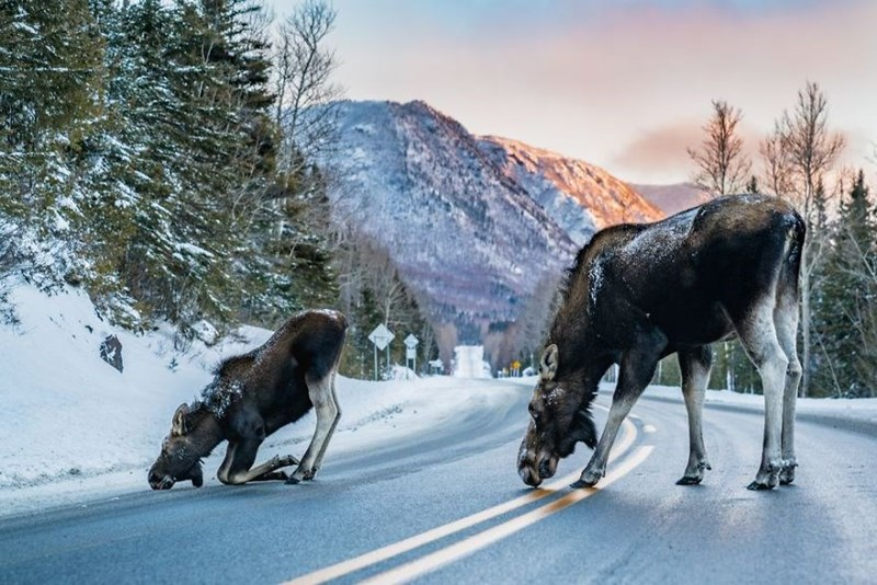Moose licking salt off the road