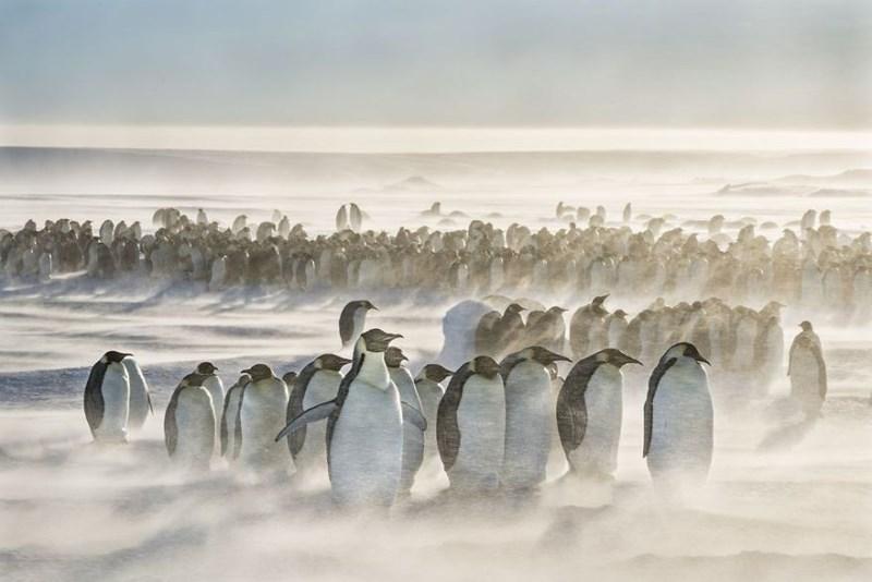Hoard of Emperor penguins braving a storm