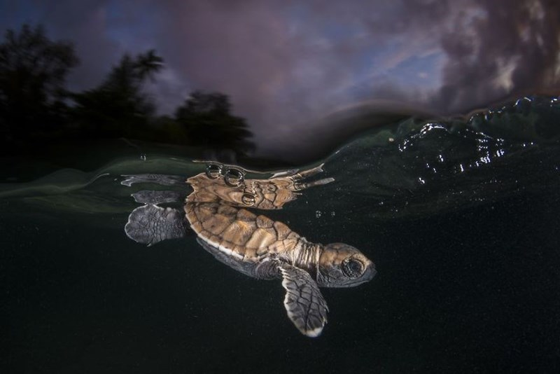 Majestic picture of a tortoise swimming through the water.