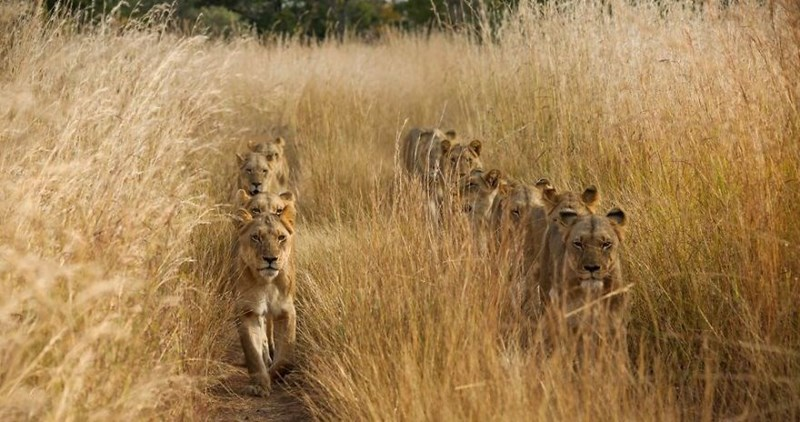 amazing photo of lions marching in a row through the brush.