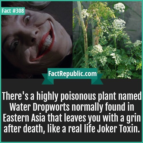 Text - Fact #308 FactRepublic.com There's a highly poisonous plant named Water Dropworts normally found in Eastern Asia that leaves you with a grin | after death, like a real life Joker Toxin.