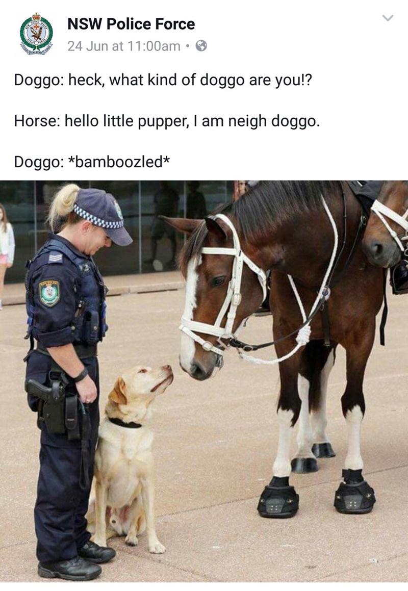 animal meme - Mammal - NSW Police Force 24 Jun at 11:00am Doggo: heck, what kind of doggo are you!? Horse: hello little pupper, I am neigh doggo. Doggo: *bamboozled*