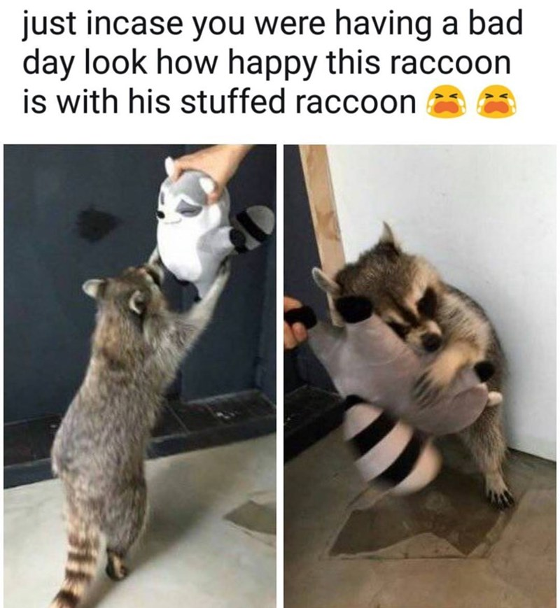 animal meme - Cat - just incase you were having a bad day look how happy this raccoon is with his stuffed raccoon