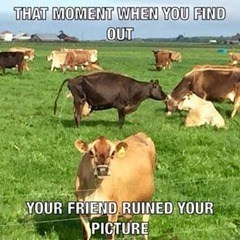 Bovine - THAT MOMENT WHEN YOU FIND OUT YOUR FRIEND RUINED YOUR PICTURE