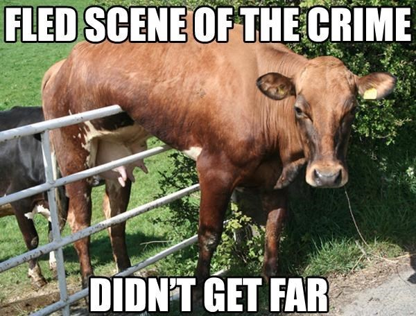 Bovine - FLED SCENE OF THE CRIME DIDNT GET FAR