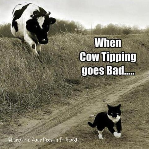 Mammal - When Cow Tipping goes Bad.... Shared on: Yoar Reason To baugh