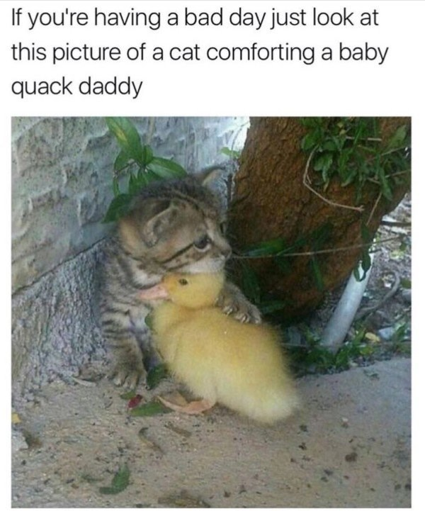 cat meme of a kitten comforting a baby duck.