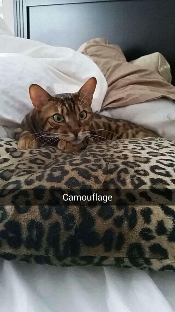 cat camouflage snapchat meme