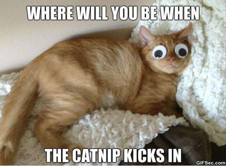 Cat wearing googly eyes captioned as if it is strong catnip kicking in.