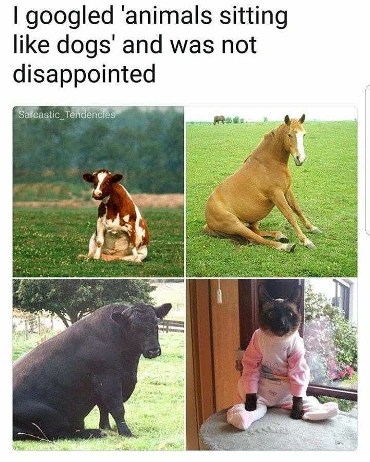 Funny meme about animals sitting like dogs.