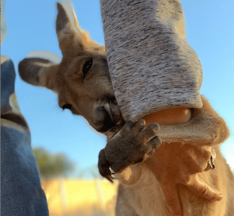 instagram animal rescue cute Sanctuary kangaroos animals - 9053957