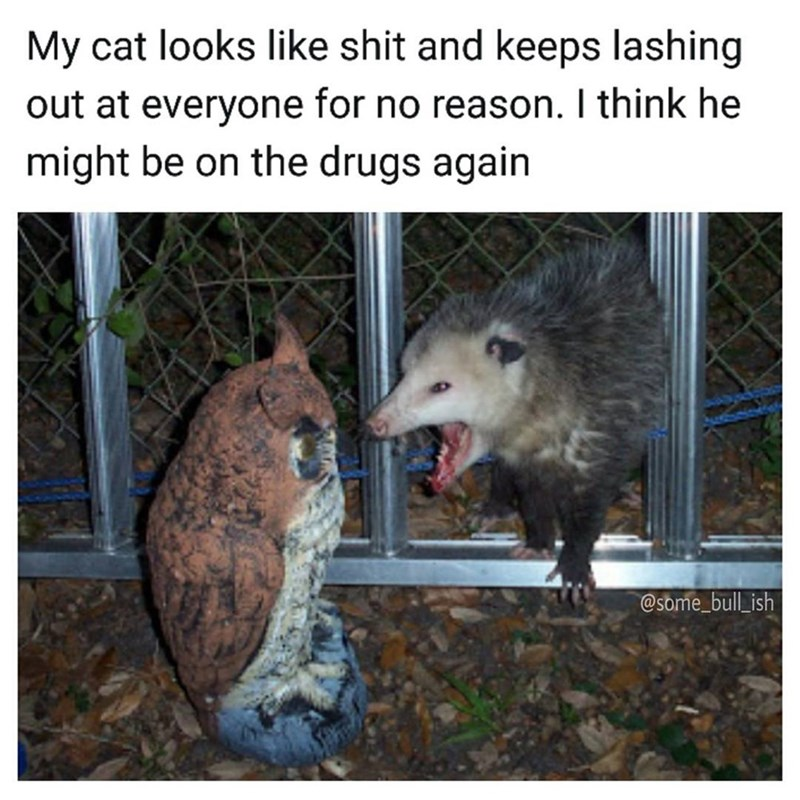 Meme with a picture of a possum freaking out, caption says that someone thinks their cat keeps acting agressively and that it might be on drugs.