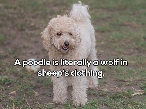 Dog - Apoodle is literally a wolf in sheep's clothing