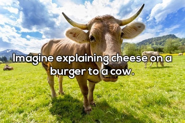 Bovine - lmagine explaining cheese on a burger to a cow.