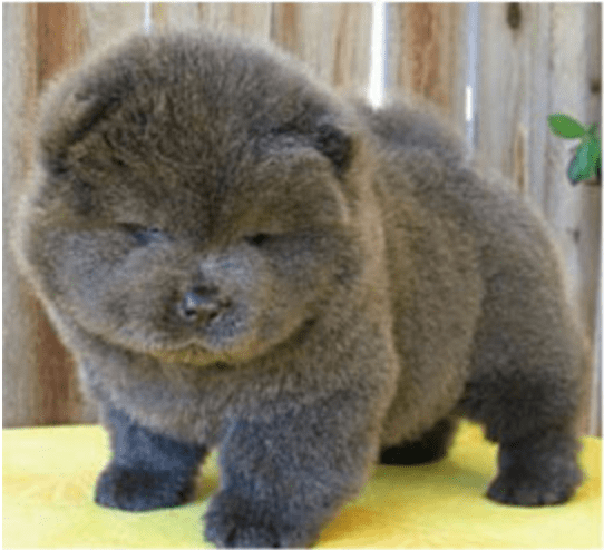 angry but very cute fluffy black puppy