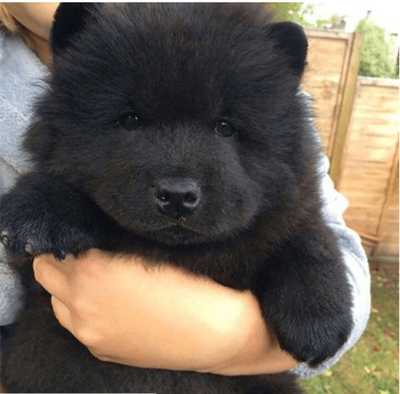 Innocent and fluffy black dog