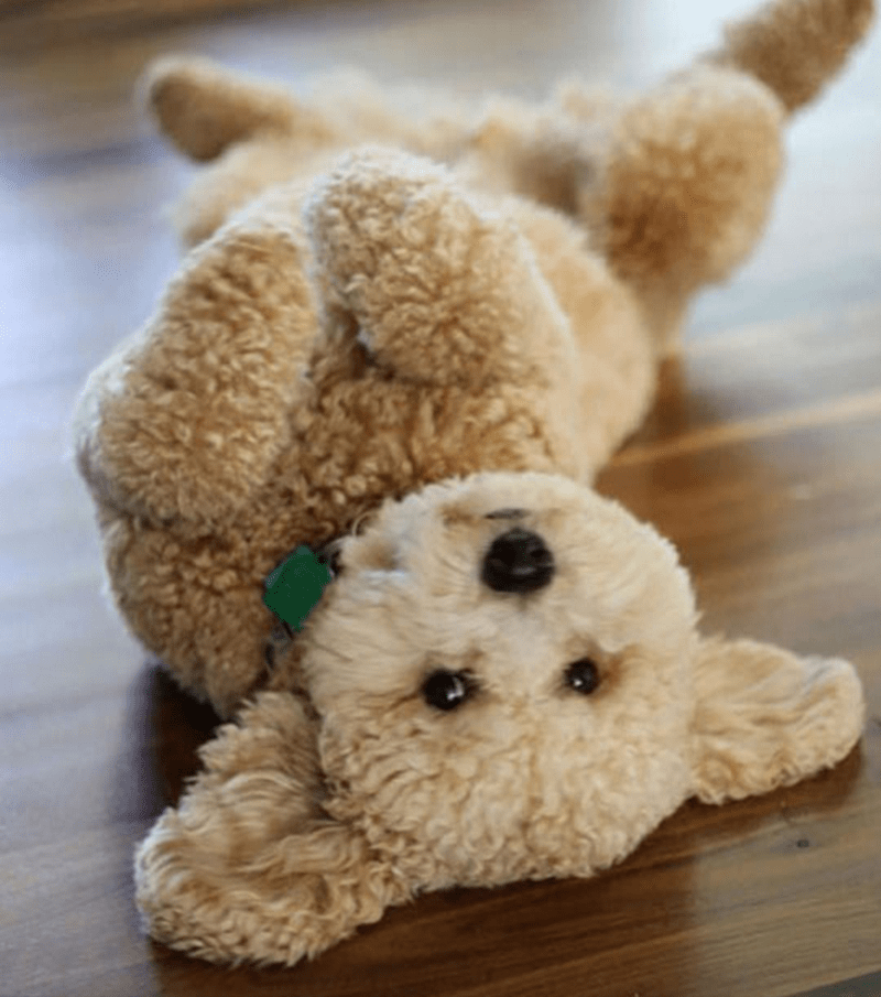 poodle on the floor like a stuffed animal toy