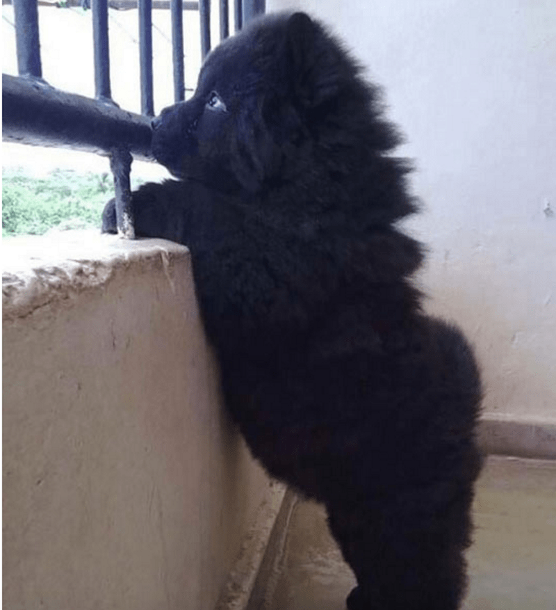 puppy beard dog