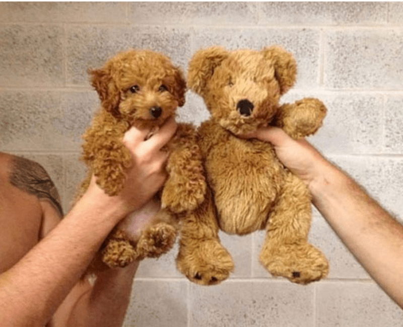 fluffy brown dog compared to similar teddy bear.