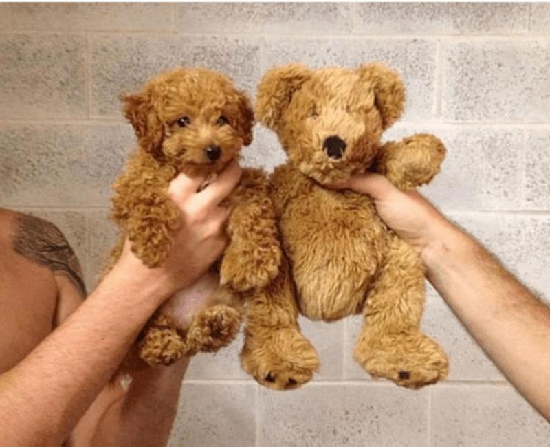fluffy brown dog compared to similar teddy bear.
