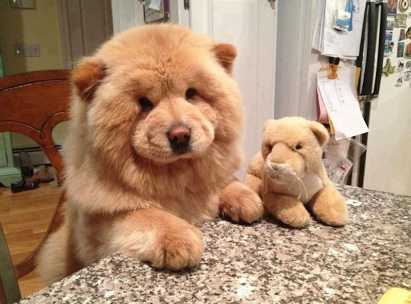 fluffy golden dog with matching stuffed animals plush toy