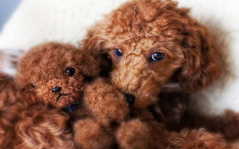 labrapoodle hairy face dog