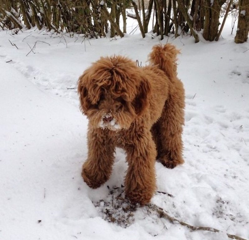 long haired fluffy dog playing in the snow