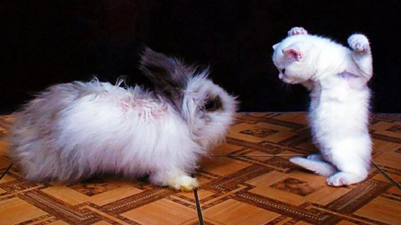 Best animals gifs collected from all around the internet of animals doing ridiculous and hilarious things. The cover photo is of a rabbit having a stare down with a seemingly menacing kitten in its diminutive size